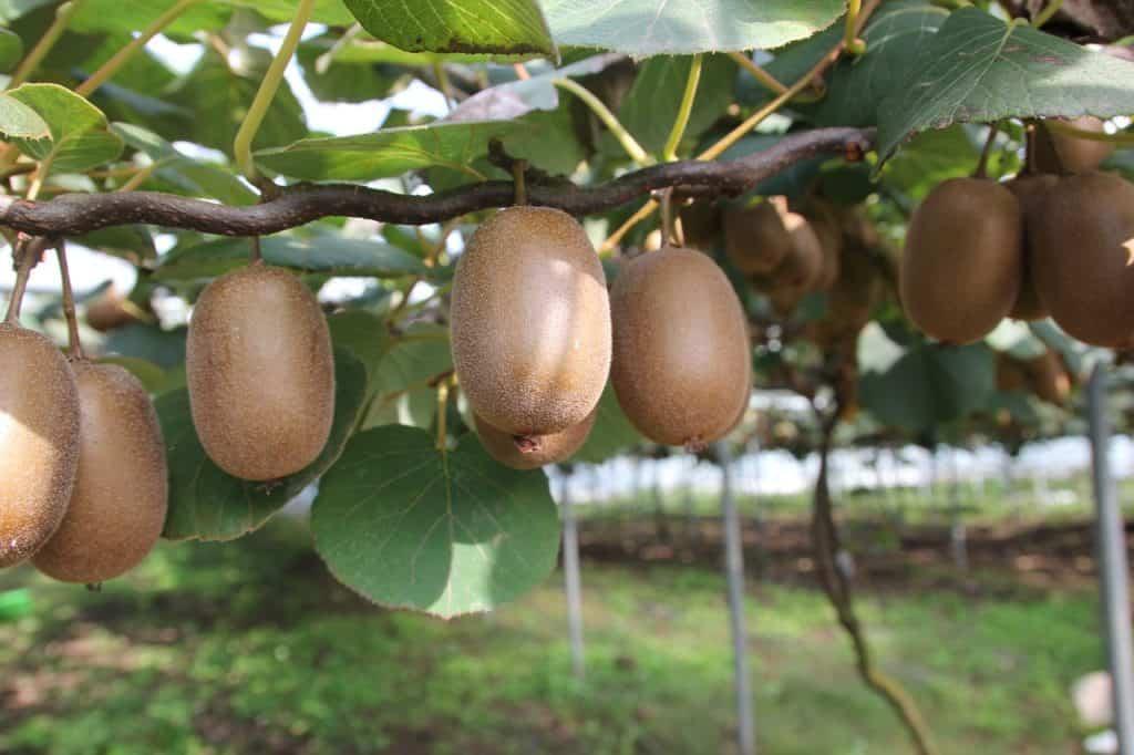 Jak si vypěstovat kiwi